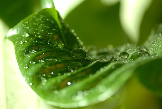 コーヒーの葉