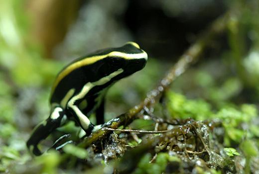 D.truncatus